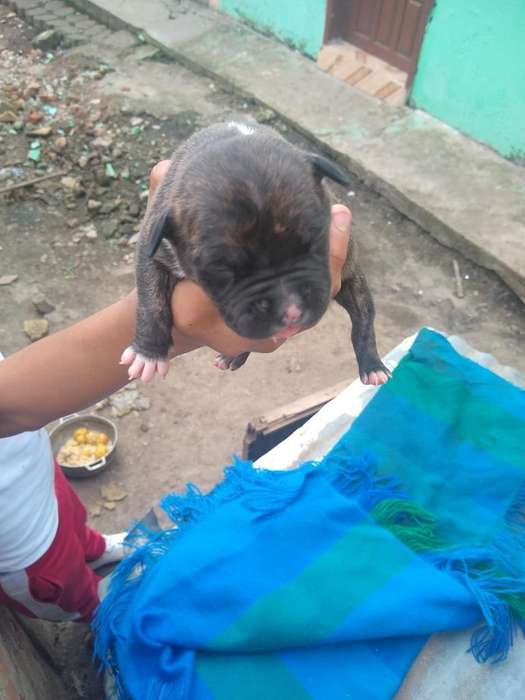 Vendo Perros de Raza Red Nose