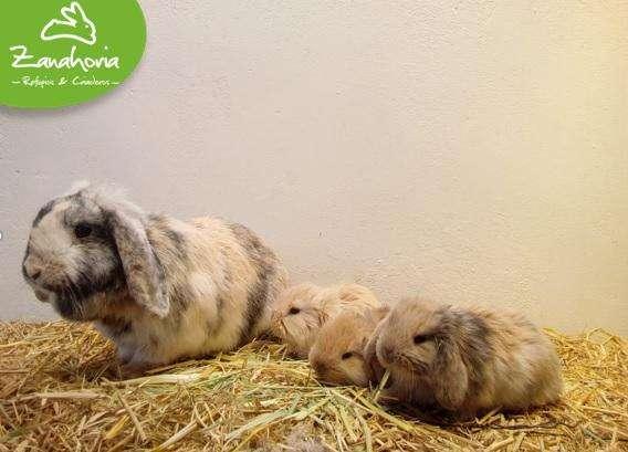 Conejos Raza Minilop