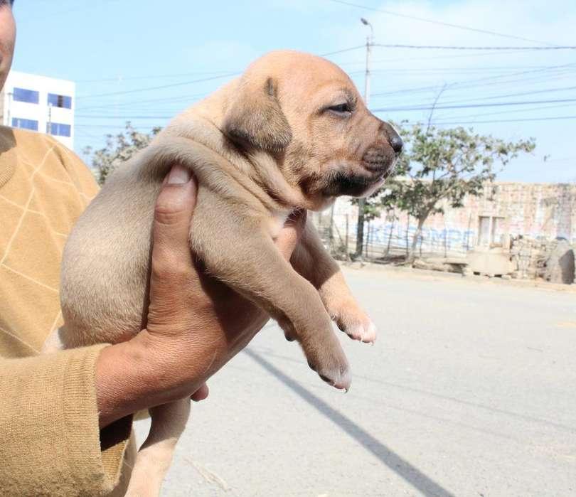 Se Vende Hermoso Cachorro Pitbull