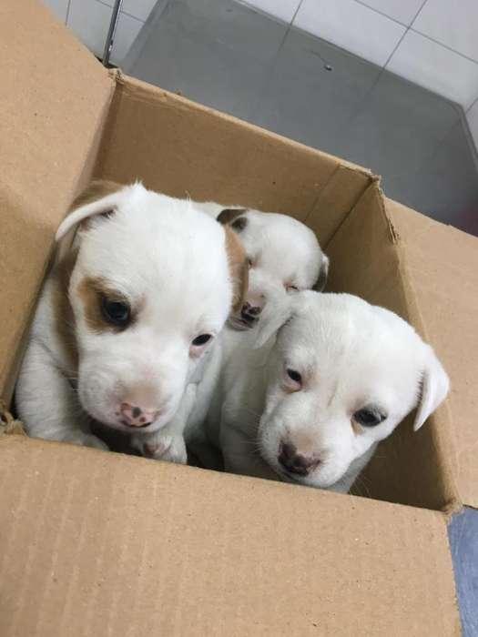Cachorrita Jack Rusell Terrier
