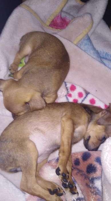 Cachorros Perro Y. <strong>perra</strong>