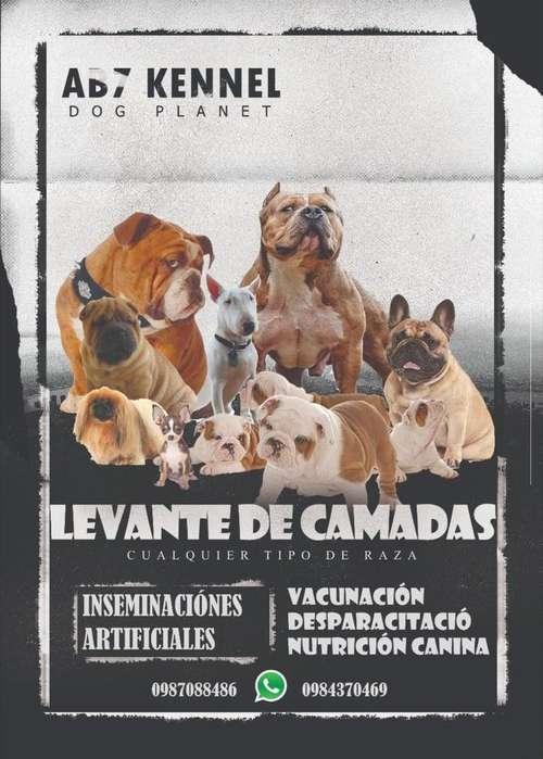 LEVANTE DE CAMADAS bulldog ingles, american bully, bulldog frances etc