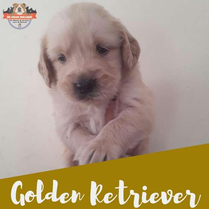<strong>cachorro</strong>s Golden Retriever