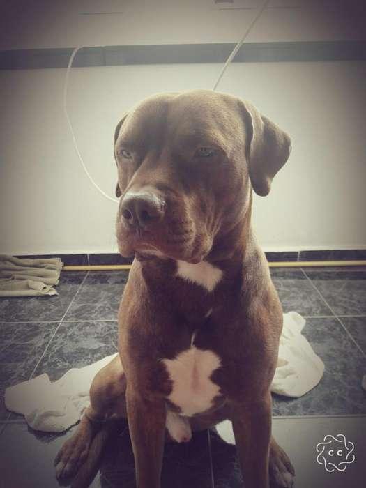 Perro Pitbull stanford terrier