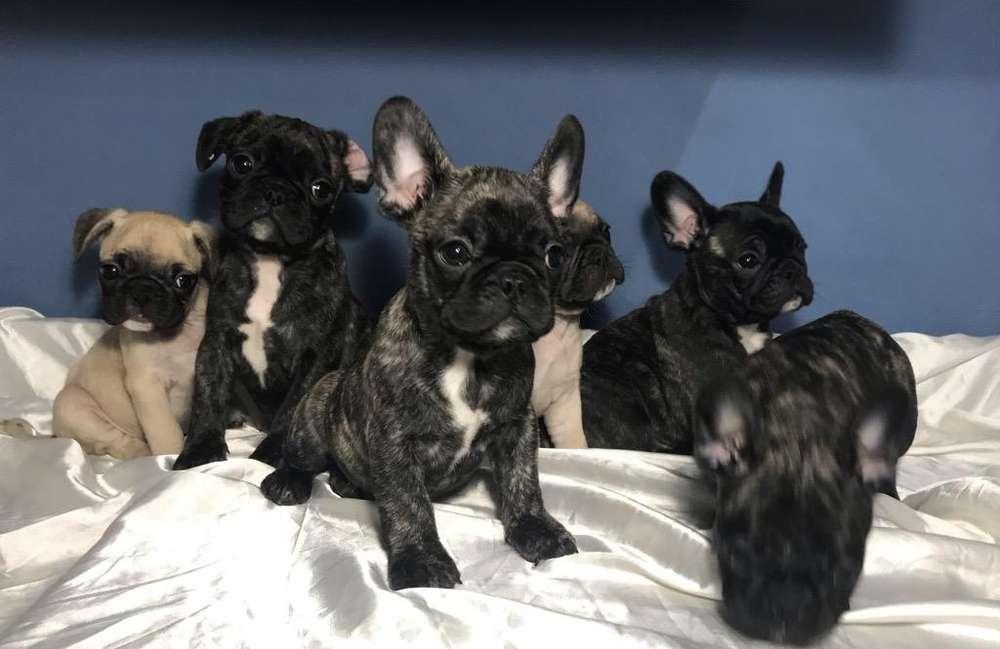 Bulldog Frances/Pug hermosos cachorrros