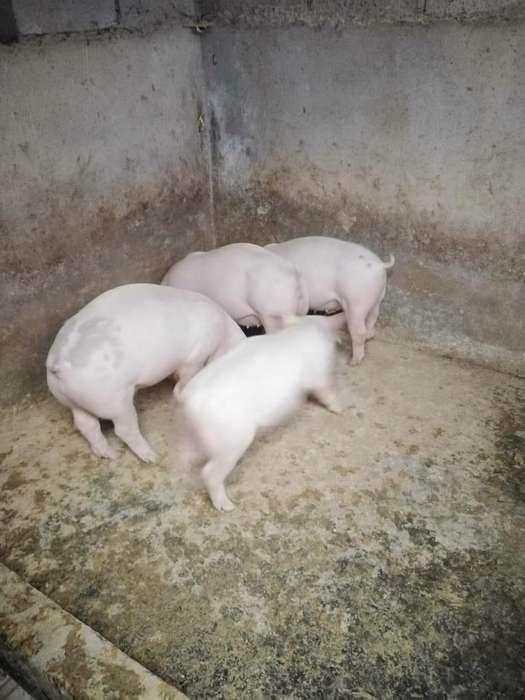 vendo hermosos cerdos