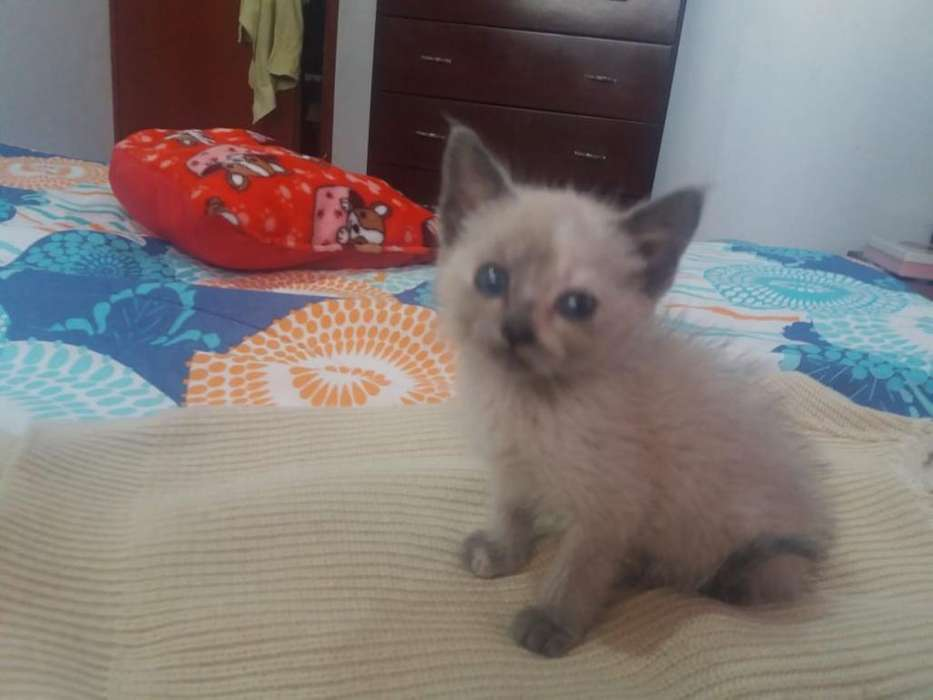 Gatito Siames en Gris Y Blanco