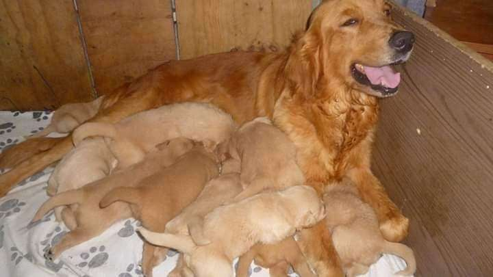 en venta bellos golden retriever full