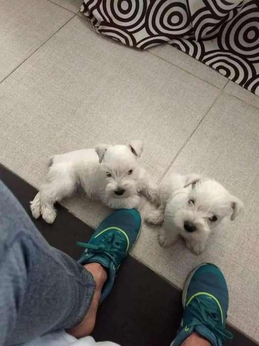 Cachorros Schnauzer Miniaturas Blancos