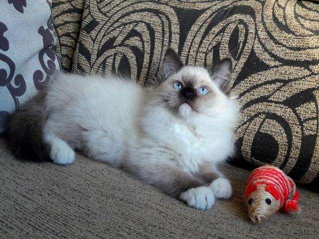 legitimos gatos ragdoll de excelente genética de ojos azules hembritas y machos disponibles