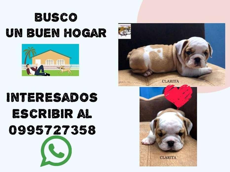 Cachorros <strong>bulldog</strong> Ingles Inf. 0995727358