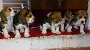 lindos <strong>beagle</strong> mini
