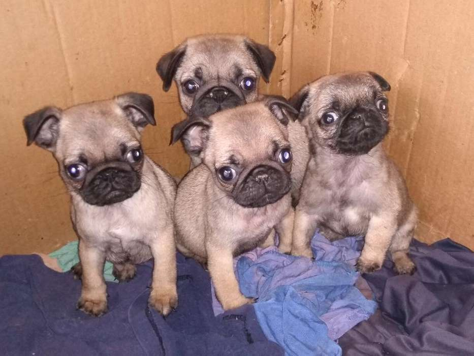 Carlinos Pug Machos