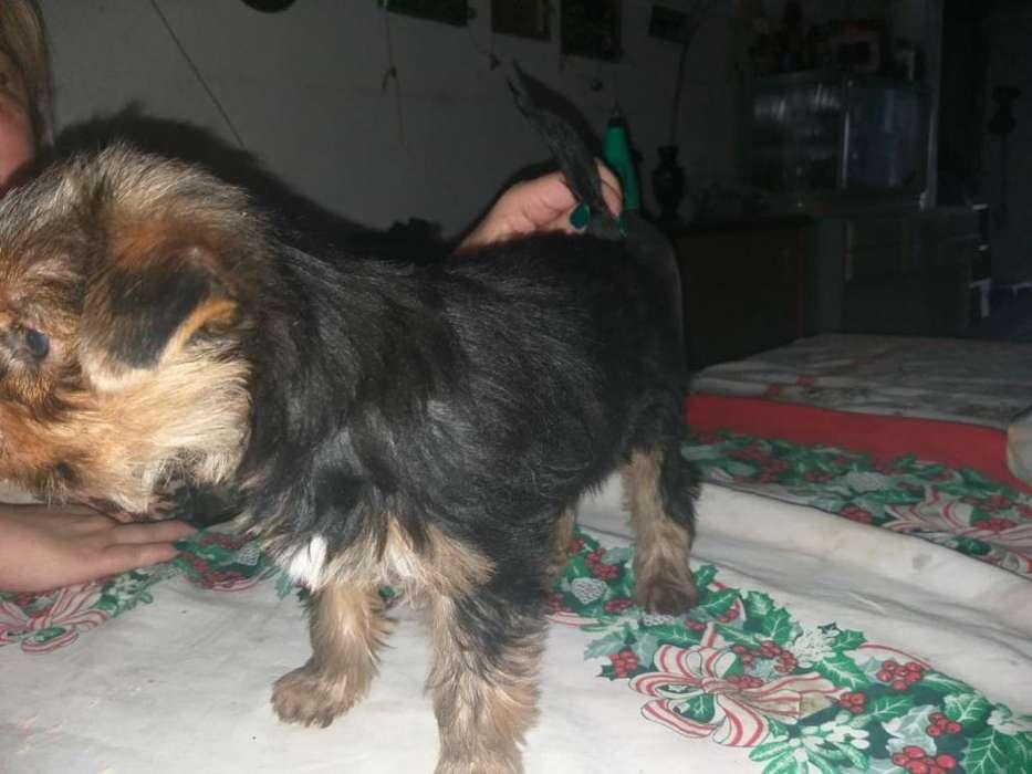 Vdo Cachorritos Mini Yorkshire Terrier.