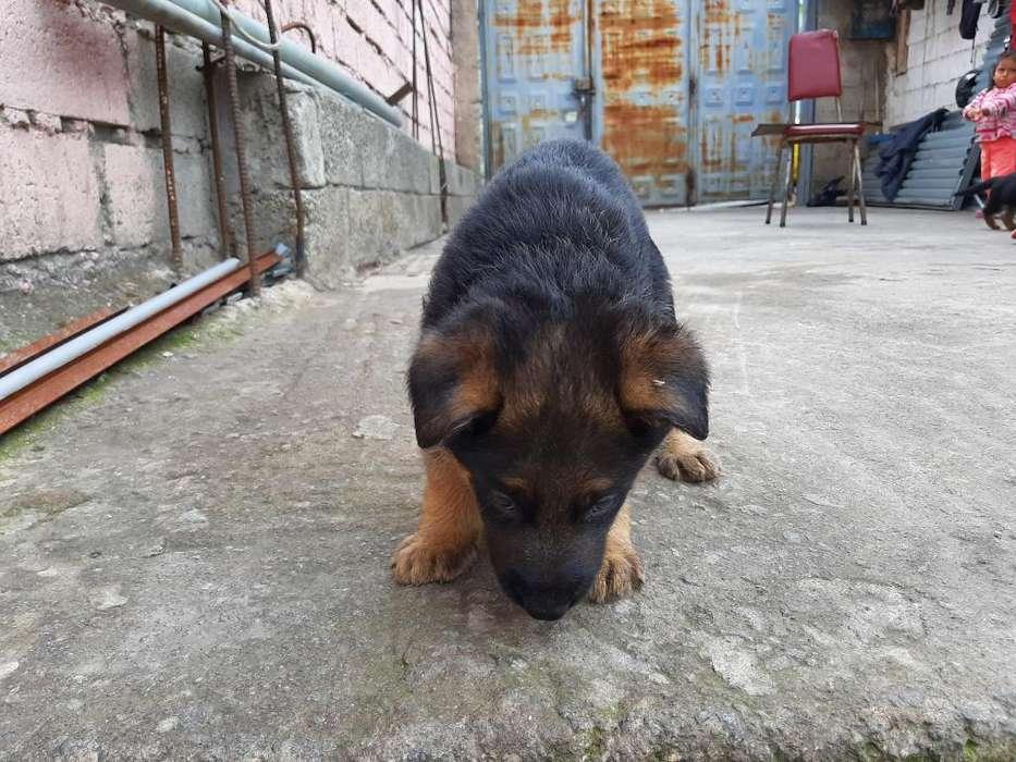 Vendo Hermosos Cachorros Pastor Aleman