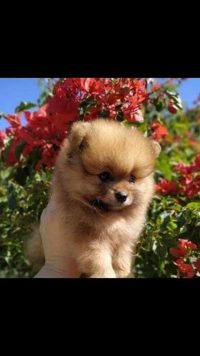 en Venta Pomeranias Lulu Son Miniaturas