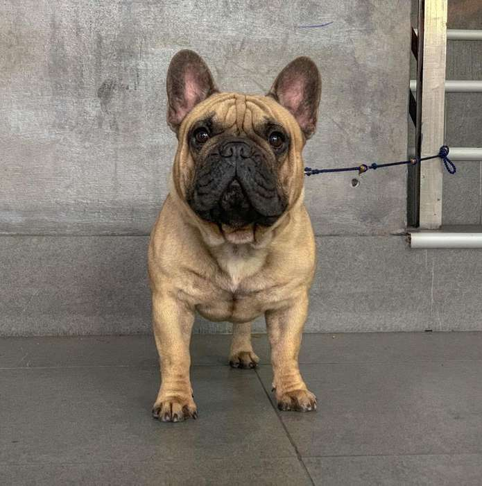 <strong>bulldog</strong> Frances Importado Cruzas