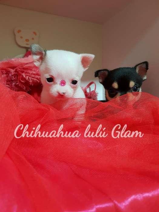 Chihuahuas Hembritas Tarjeta 12 Cuotas