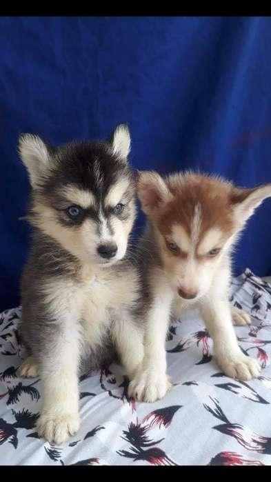 Ejemplares Cachorros Lobos Siberianos