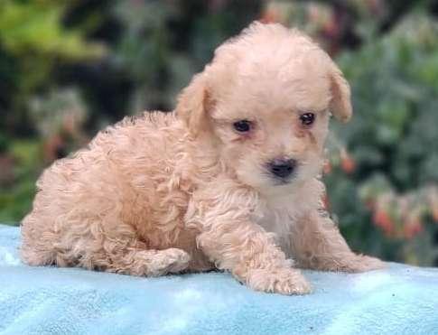 Hermosos French Poodle Minitoy con garantía de raza
