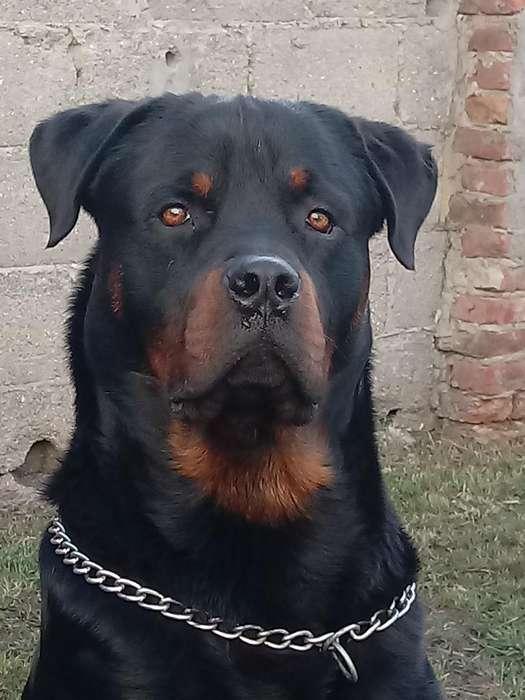 <strong>rottweiler</strong> para Servicio