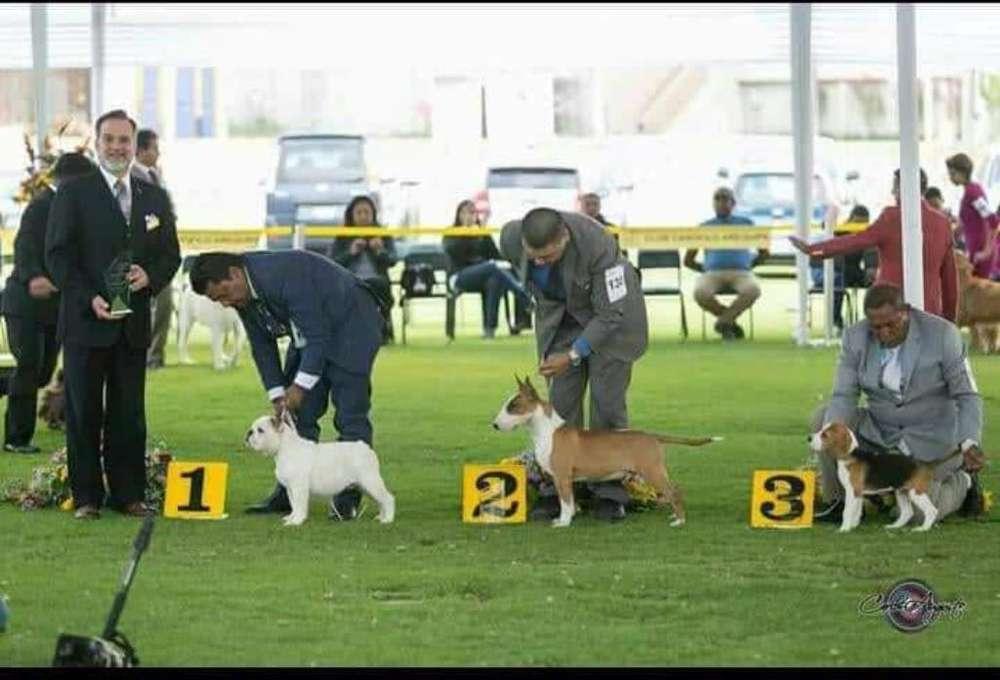 Servicio de Monta Bull Terrier Campeón