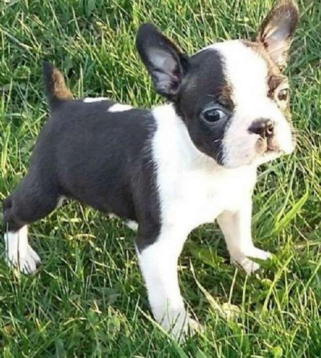 Cachorrito Miniatura Boston Terrier