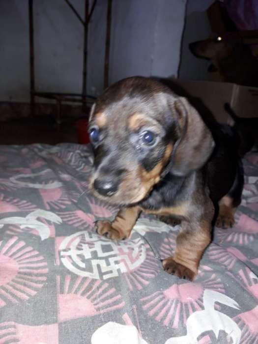Vendo cachorros salchichas machos (Dachshund estándar)