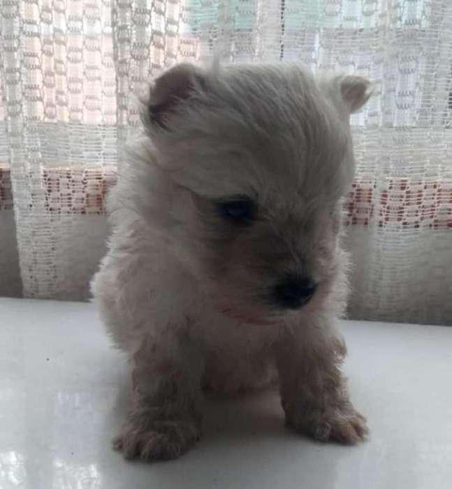 Westy Terrier en Venta