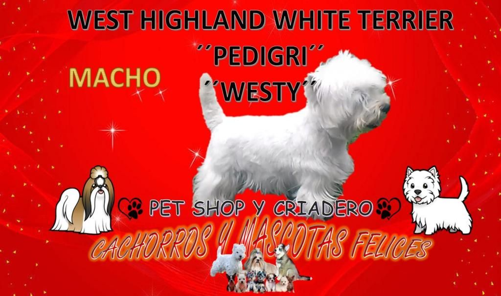 West Highland White Terrier westy Pedigrí, BUSCA NOVIAS