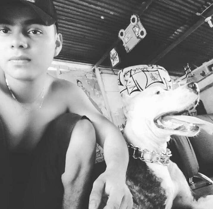 <strong>perro</strong> Pitbull para Monta