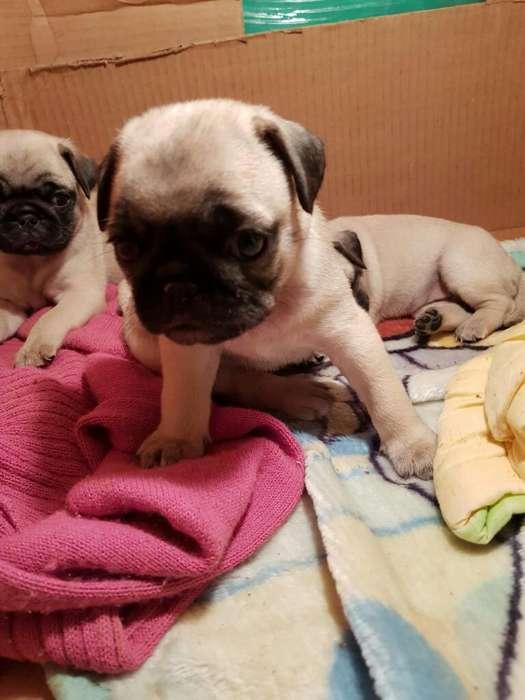 Se Venden Cachorros Pug Carlinos