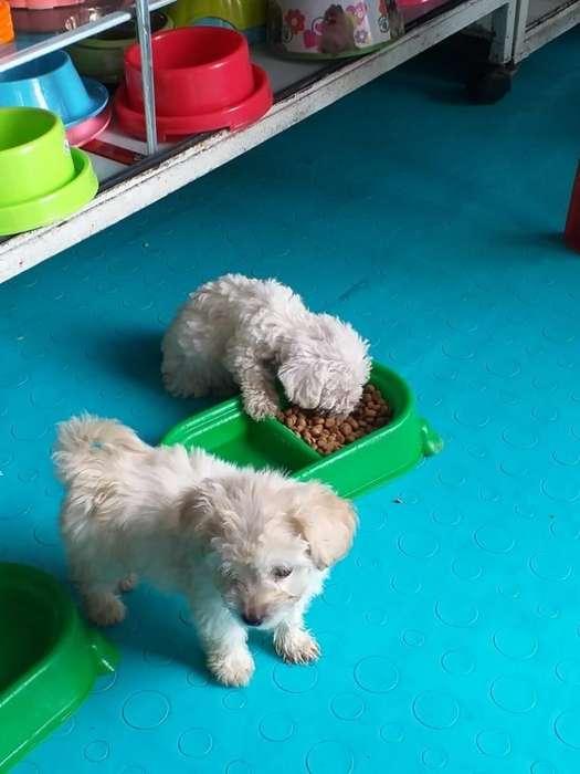 Cachorros Pincher French poodle mini cocker spaniel lobo siberiano Husky Otras razas