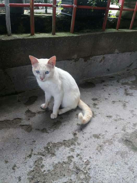 Gato Siames Red Point