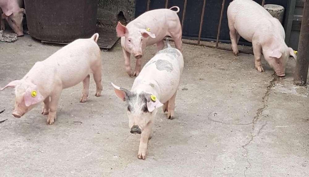 Cerdos para Engorde