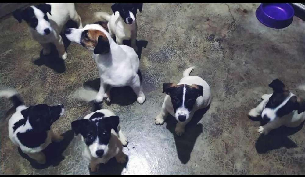 cachorros Jack Russell Terrier Linaje de campeones
