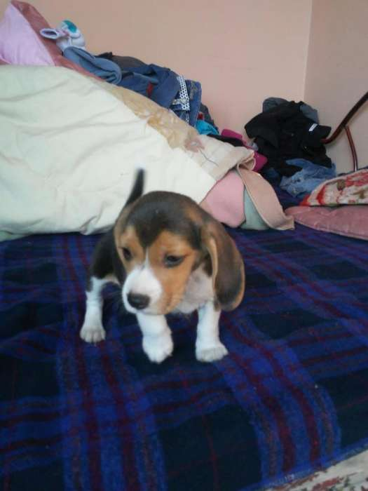 Hermoso Cachorro <strong>beagle</strong>