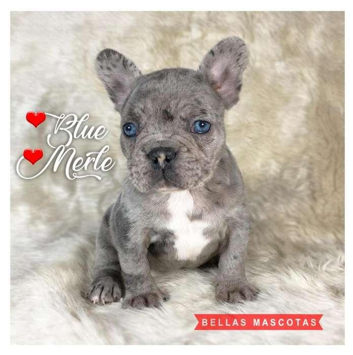 hembra <strong>bulldog</strong> frances blue merle ojos celestes fabulosa!