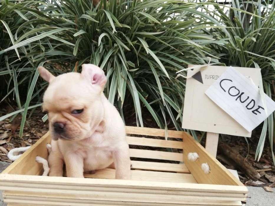 Cachorro <strong>bulldog</strong> Frances Fawn 1.100.000 El Arca Del France