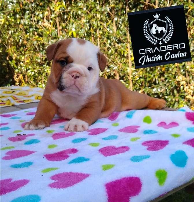Bulldog Ingles de Exelente Calidad