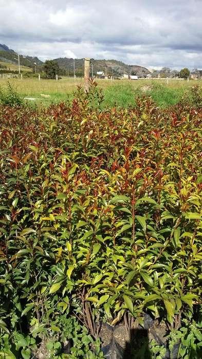 Planta Eugenias para Cerca Viva