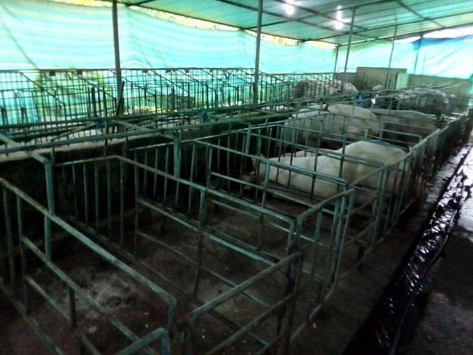 Estructuras Cerdos Gestacion Lactancia