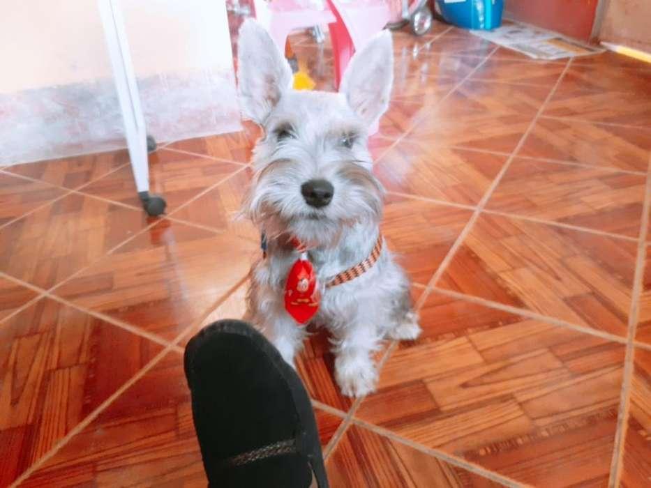 Vendo <strong>cachorro</strong> Esnauser de 8 Meses
