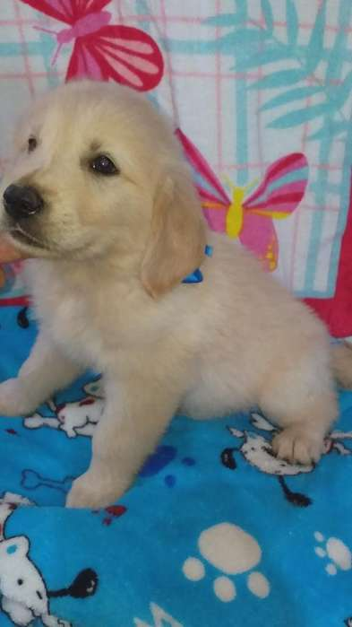 El Mas Facinante Golden Retriever Guias