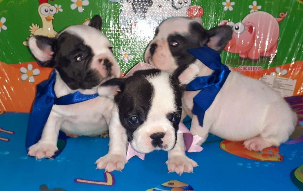 Hermosas Cachorritas Bulldog Frances