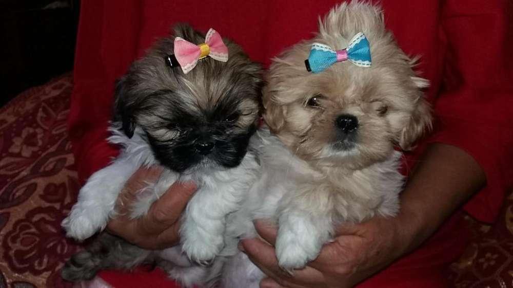Hermosas cachorritas Shitzu puras de raza muy pequeñas