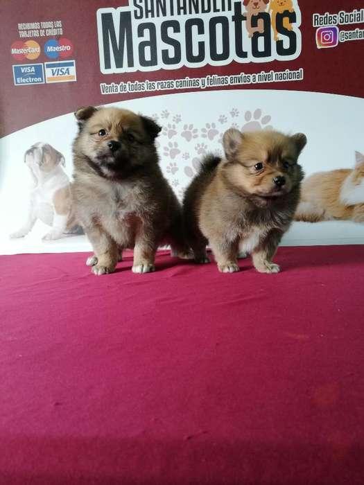 Pomeranias Fotos Reales de Los Cachorros