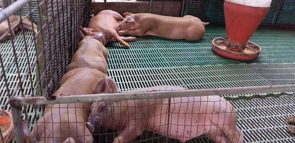 Lechones Y Cerdos Reproduccion