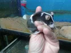 Ratoncitos Mexicanos Miniatura Tricolores, Hamster enanos y cobayos