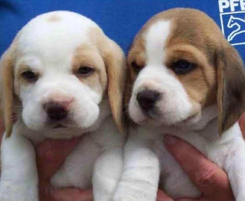Beagle Raza Pura